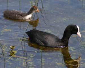 Coot adult with chick