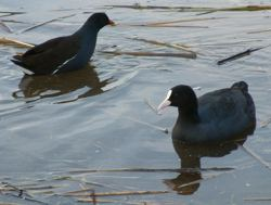 Coot and Moorhen