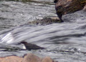 Dipper swimming in fast flowing water