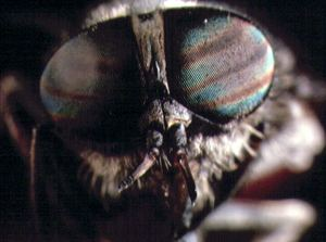 Horsefly eyes closeup