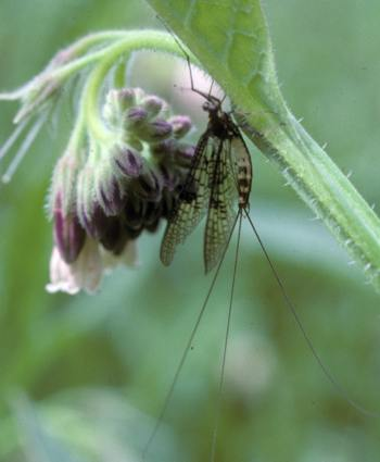 Flower of Comfrey with mayfly