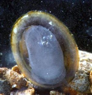 River Limpet