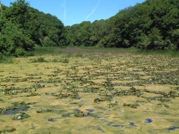Eutrophic lake with blanket weed covering the surface